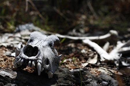 Cycle of life - back to the earth - dingo or dog skull