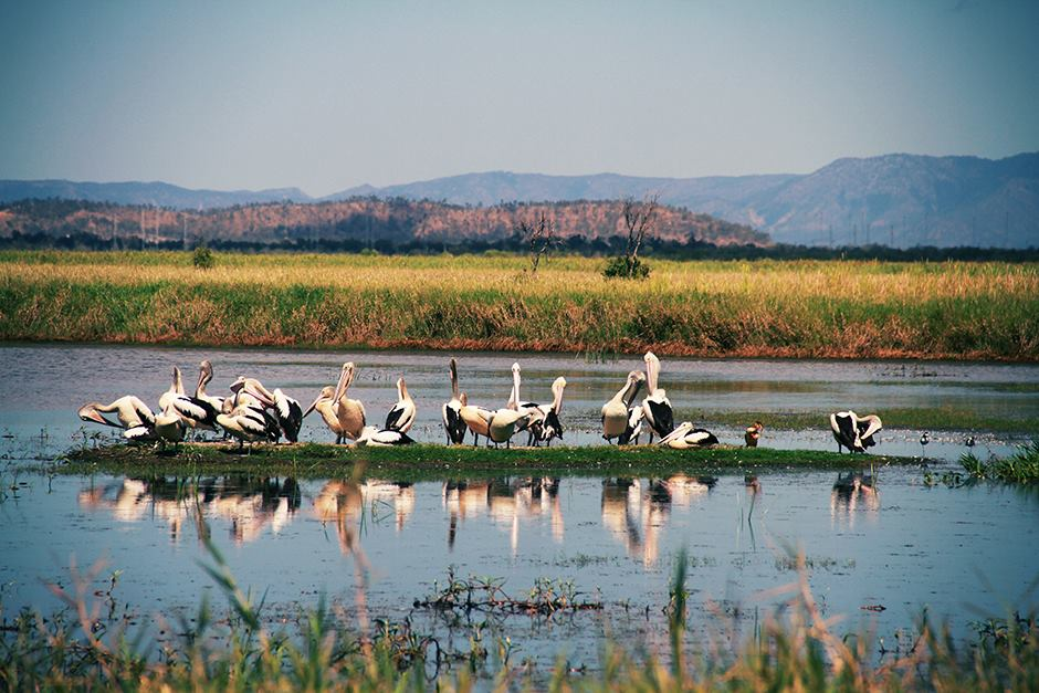 pelicans at the wetlands, Townsville