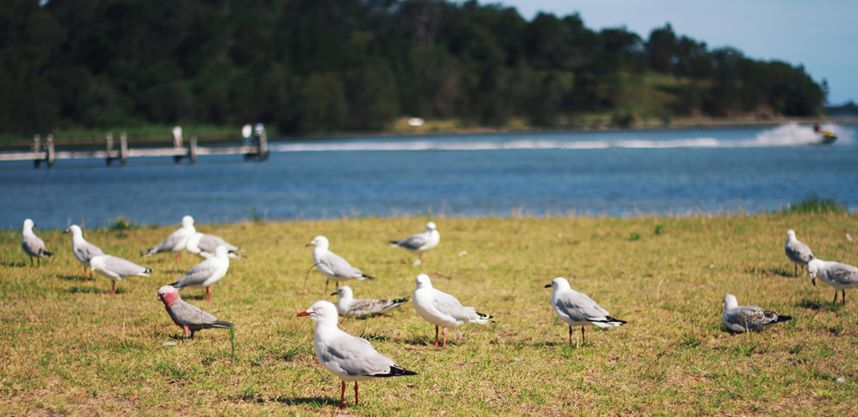 seagulls and one galah, Lake Illawarra, NSW