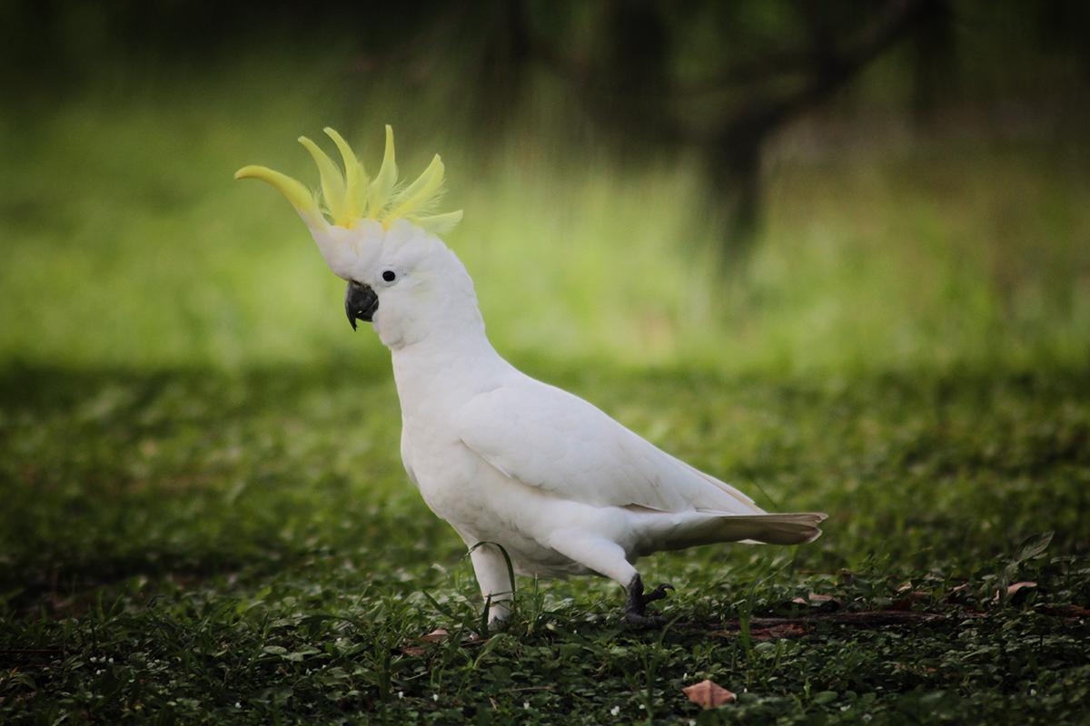 Cockatoo - Black and White - Native Symbols