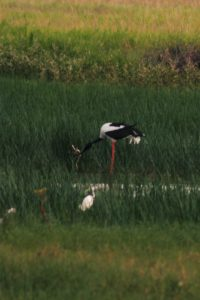jabiru with catch 1