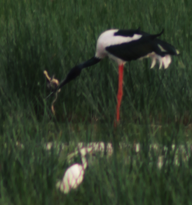 jabiru with a turtle and snake in his beak, Townsville wetlands, zoomed in