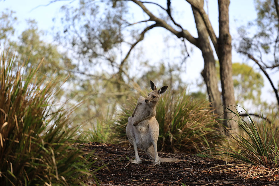 kangaroo, Lake Crestbrook, QLD