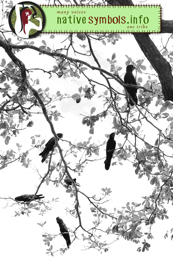Black Cockatoos, The Strand, Townsville 2016