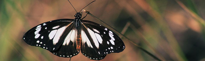 Butterfly – Native Symbols
