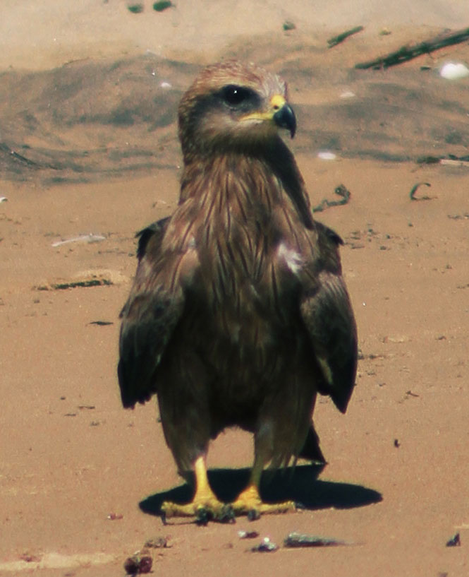 young hawk on the beach