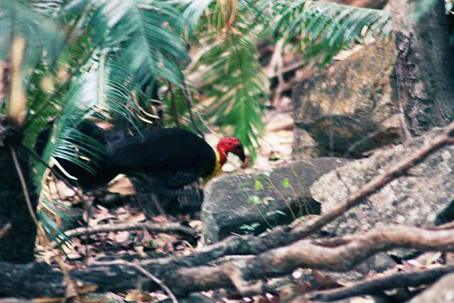 scrub or bush turkey, Pallaranda Beach, Townsville