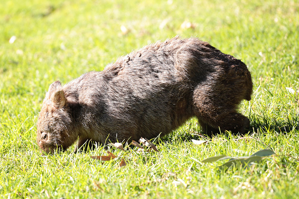 Wombat at Tongarra, NSW.