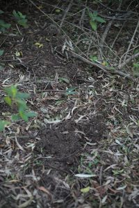 Scratch marks left on forest floor by a lyrebird. Tongara, NSW.
