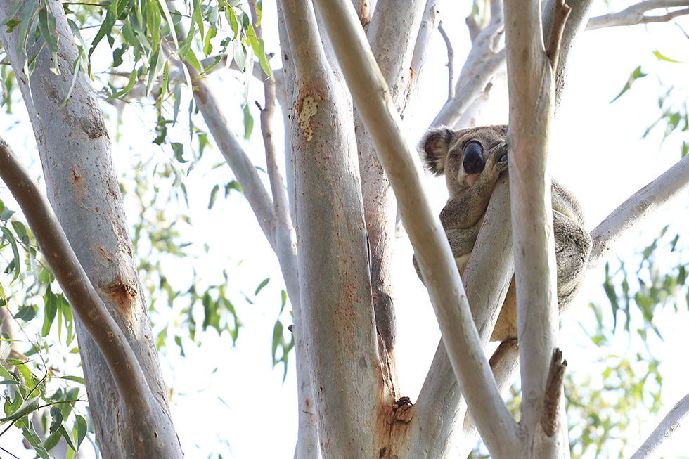 Koala asleep in a tree, Lake Crestbrook, QLD