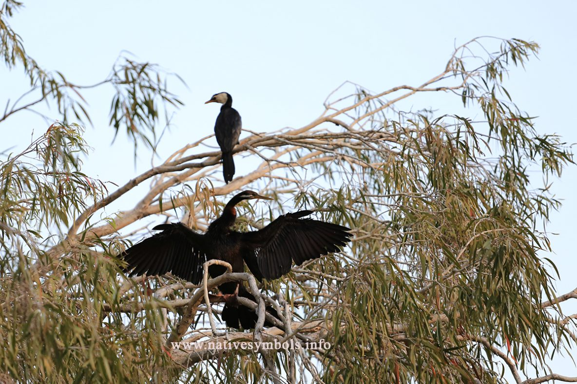 cormorant in tree wings outspread