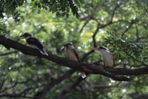 three kookaburras in a raintree